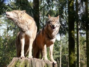 Wolfspaar, Foto: G. Ries/ www.wikipedia.org