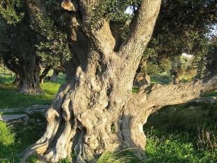 Olivenbaum_770